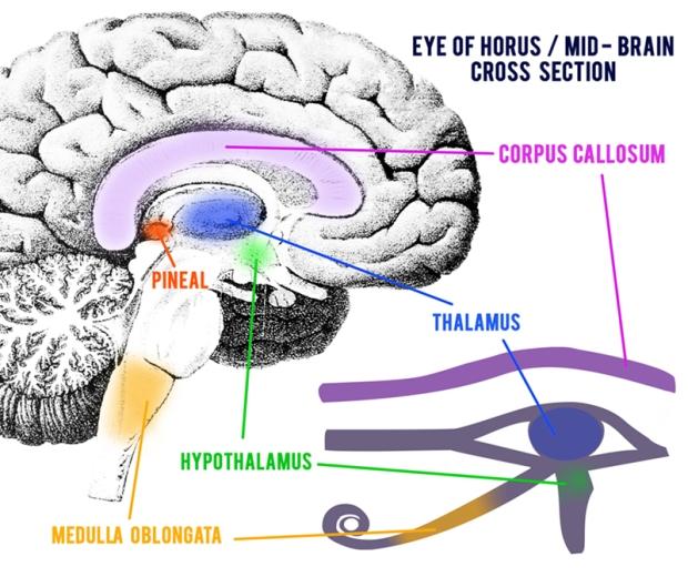 Eye-of-Horus-Mid-Brain-Cross-Section2