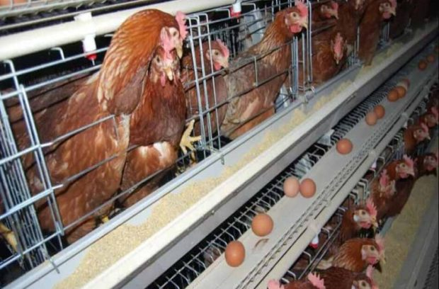 a-type-chicken-cages-system4-759x500