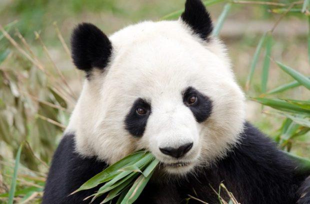 panda-759x500