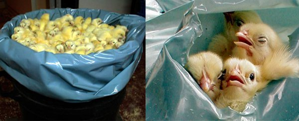 suffocation-in-plastic-bags-chicks